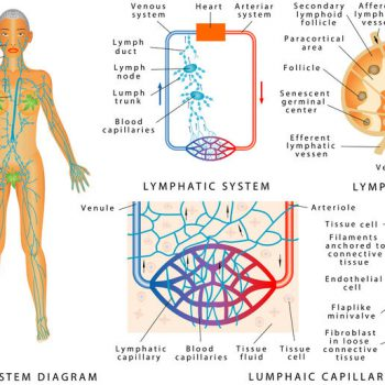 Lymphatic MLD 4